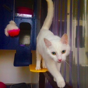 white cats at copperfield cattery inverness