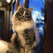 norwegian forest at copperfield cattery